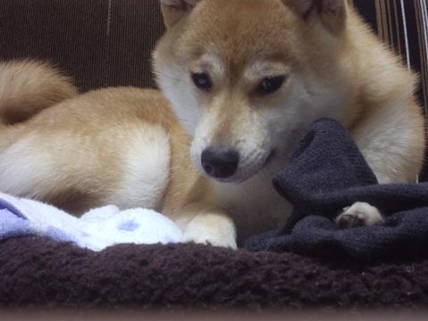 柴犬ズン画像051815