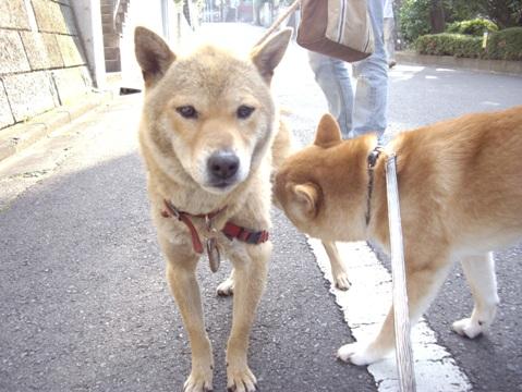 柴犬ズン画像052415