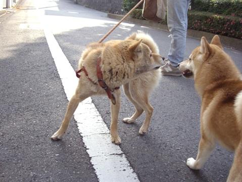 柴犬ズン画像052403