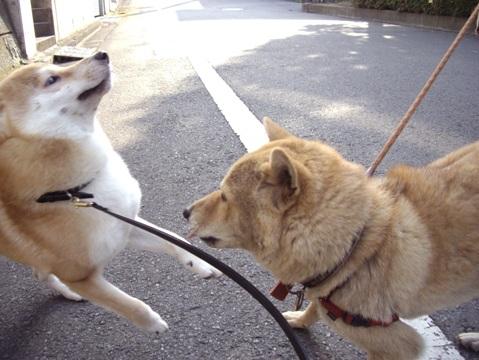 柴犬ズン画像052402