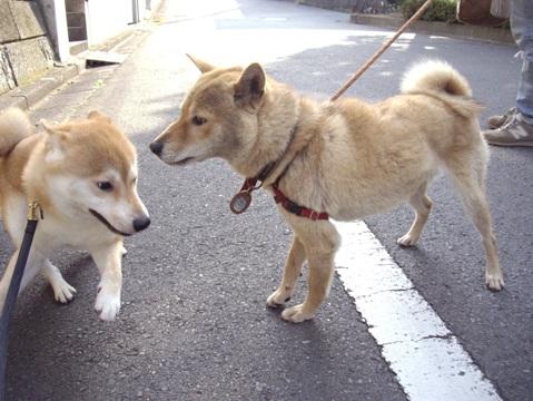 柴犬ズン画像052404