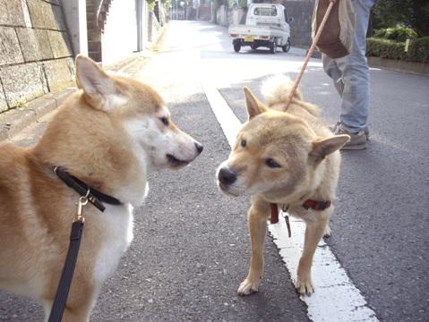 柴犬ズン画像052411