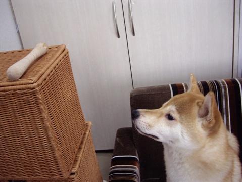 柴犬ズン画像052502