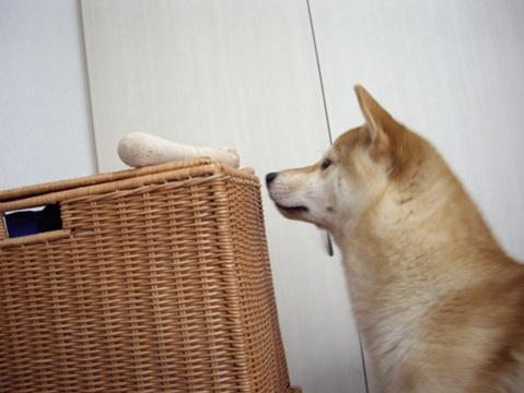 柴犬ズン画像052505