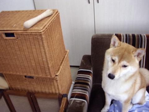 柴犬ズン画像052504