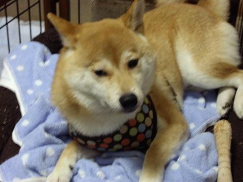 柴犬ズン画像052702