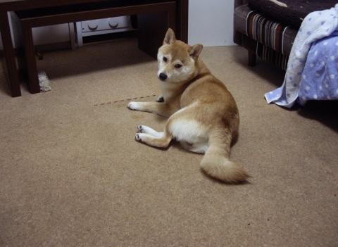 柴犬ズン画像053002