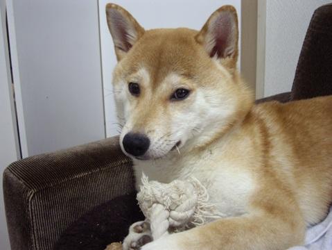 柴犬ズン画像053101