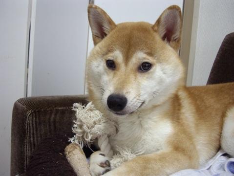 柴犬ズン画像053102