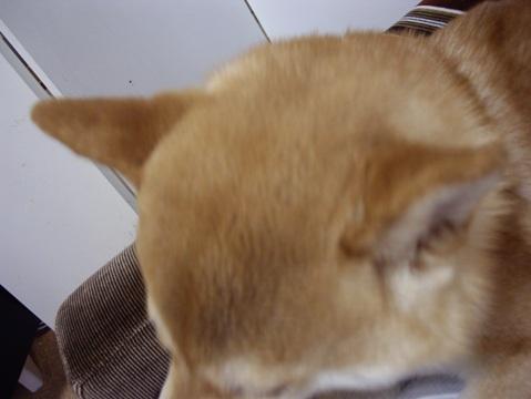 柴犬ズン画像053108