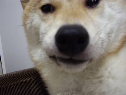 柴犬ズン画像053103