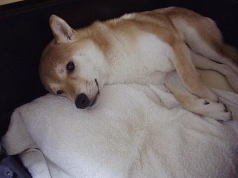 柴犬ズン画像060101
