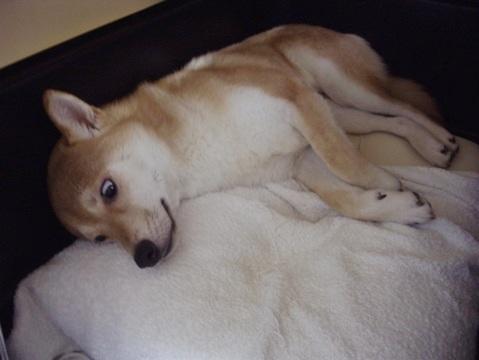 柴犬ズン画像060103