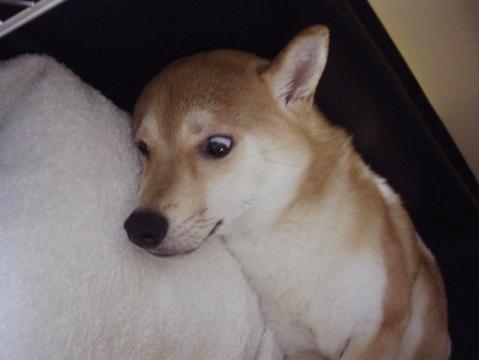 柴犬ズン画像060104