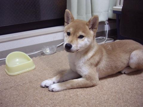 柴犬ズン画像060108