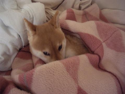 柴犬ズン画像060111