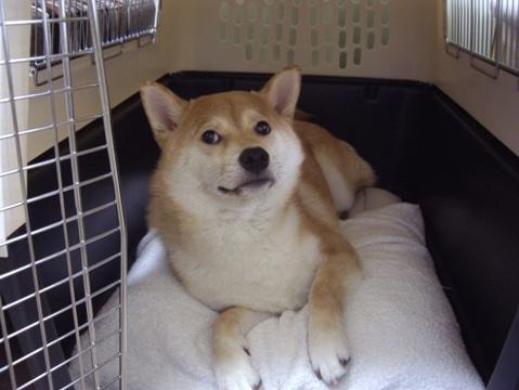 柴犬ズン画像060107