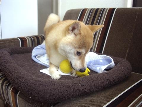 柴犬ズン画像060202