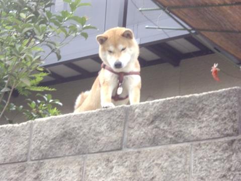 柴犬ズン画像060304