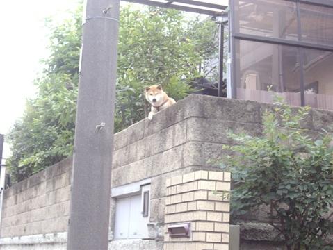 柴犬ズン画像060305