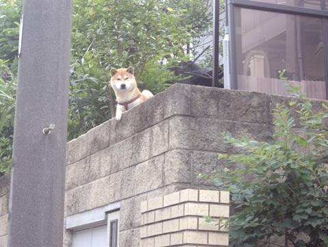 柴犬ズン画像060308