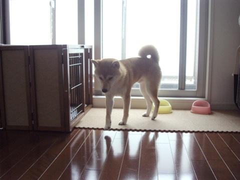 柴犬ズン画像061201