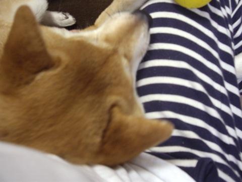 柴犬ズン画像061307