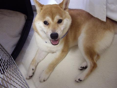 柴犬ズン画像061903