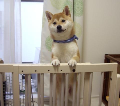 柴犬ズン画像061901