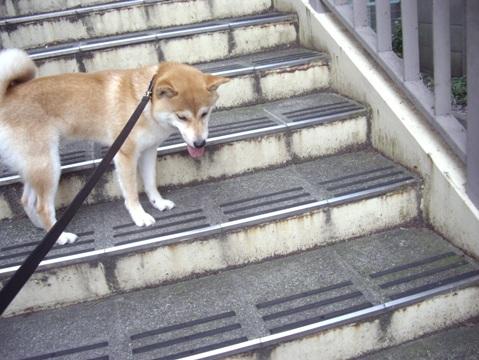 柴犬ズン画像062103