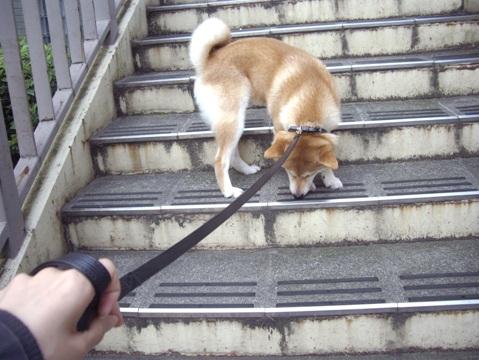 柴犬ズン画像062105
