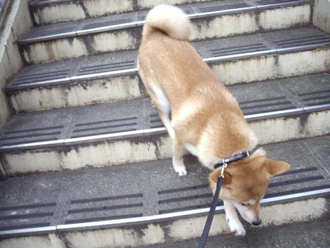 柴犬ズン画像062107