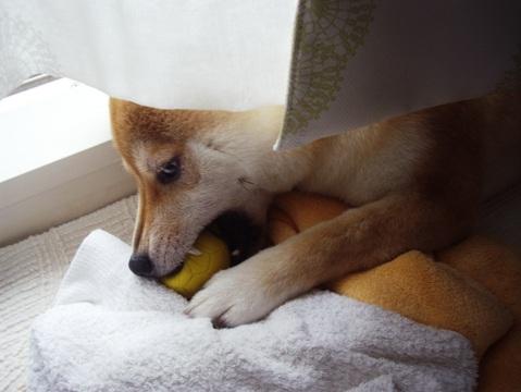 柴犬ズン画像062211