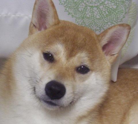 ズン画像柴犬ブログランキングへ0624