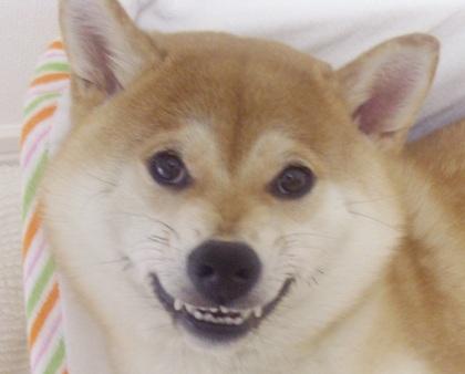 ズン画像柴犬ブログランキングへ0627