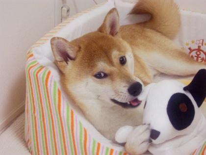 柴犬ズン画像062701