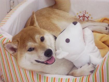 柴犬ズン画像062707