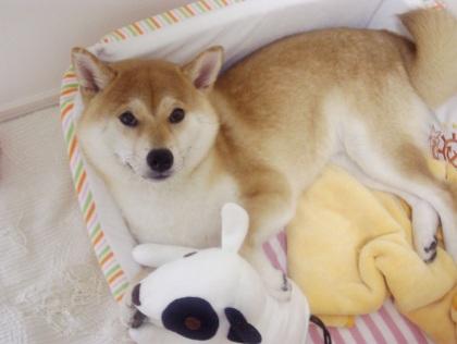 柴犬ズン画像062710
