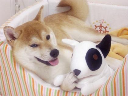 柴犬ズン画像62807