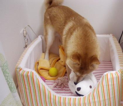 柴犬ズン画像062803