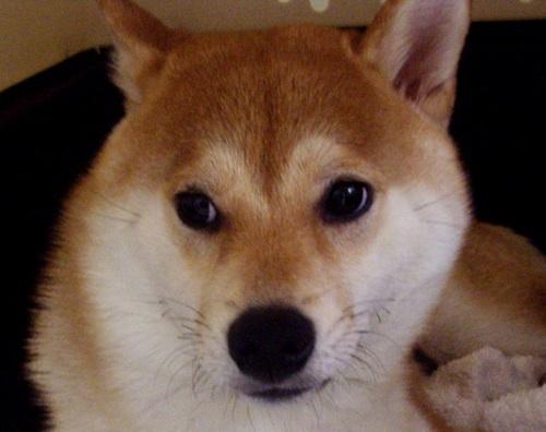 ズン画像柴犬ブログランキングへ0629