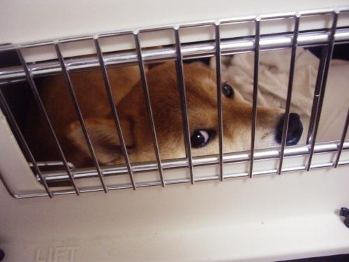 柴犬ズン画像062901