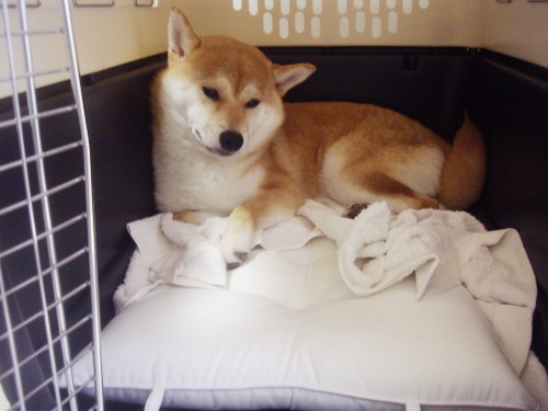 柴犬ズン画像062903