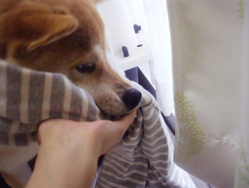 柴犬ズン画像063008