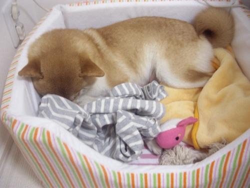 柴犬ズン画像063009