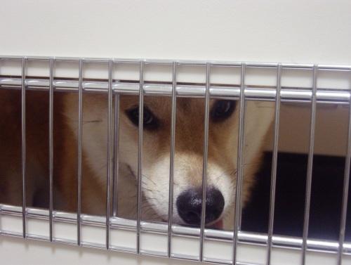 柴犬ズン画像070102