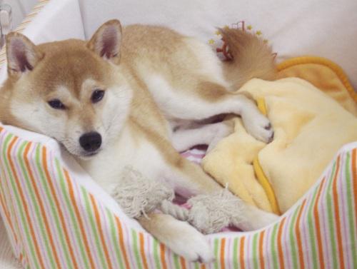 柴犬ズン画像070109