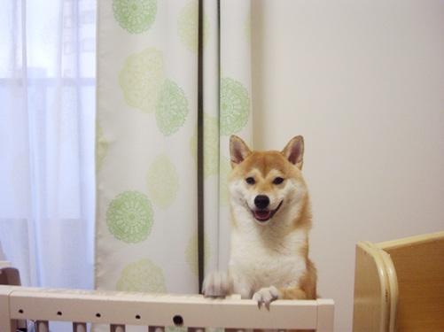 柴犬ズン画像070204