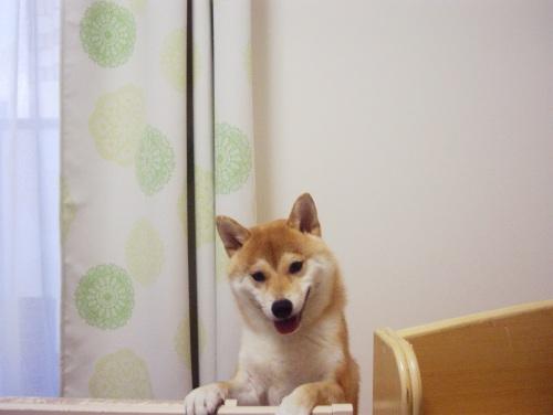 柴犬ズン画像070207