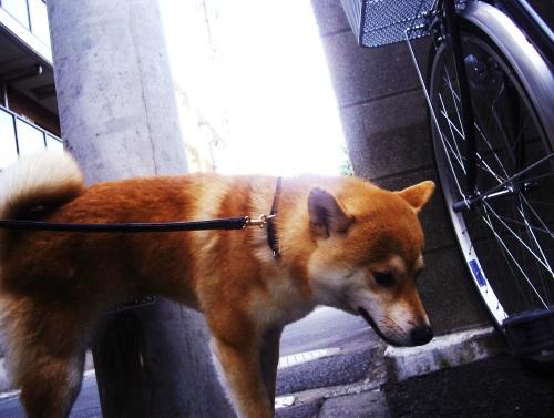柴犬ズン画像070402
